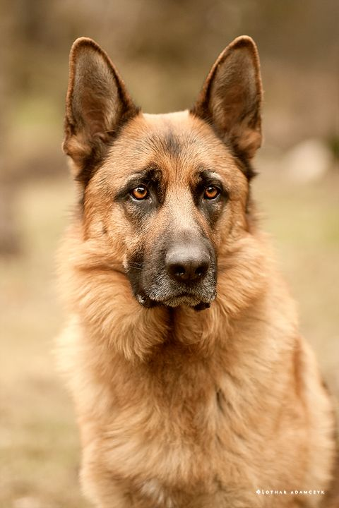 Such regal bearing! German shepherd head shot. #germanshepherd #gsd