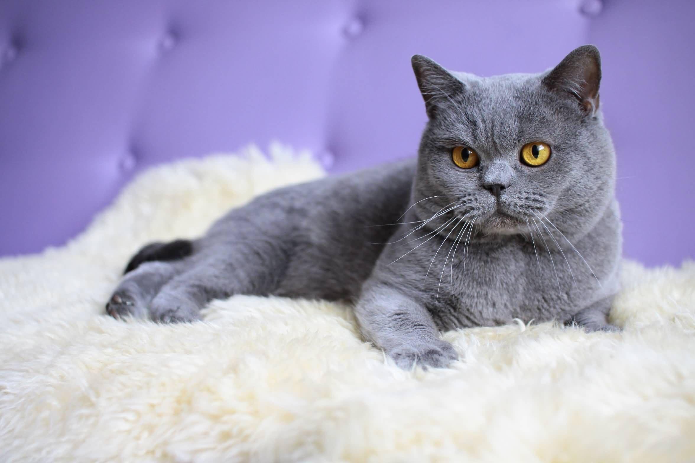 Blue British Shorthair Cat Wallpaper Golfian