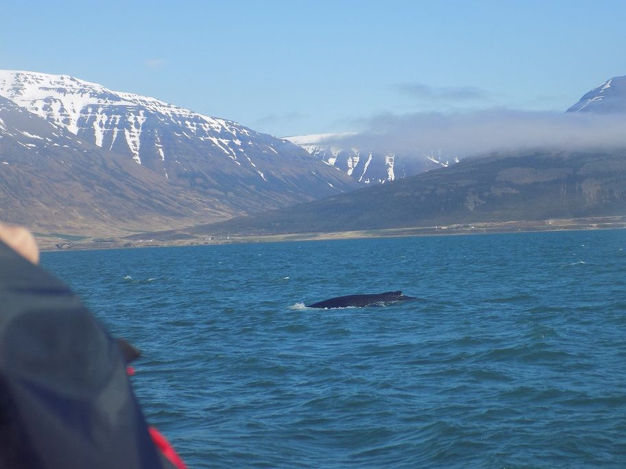 Our visit to Iceland day six, Hauganes - Heading back to shore - the last Whale of the day