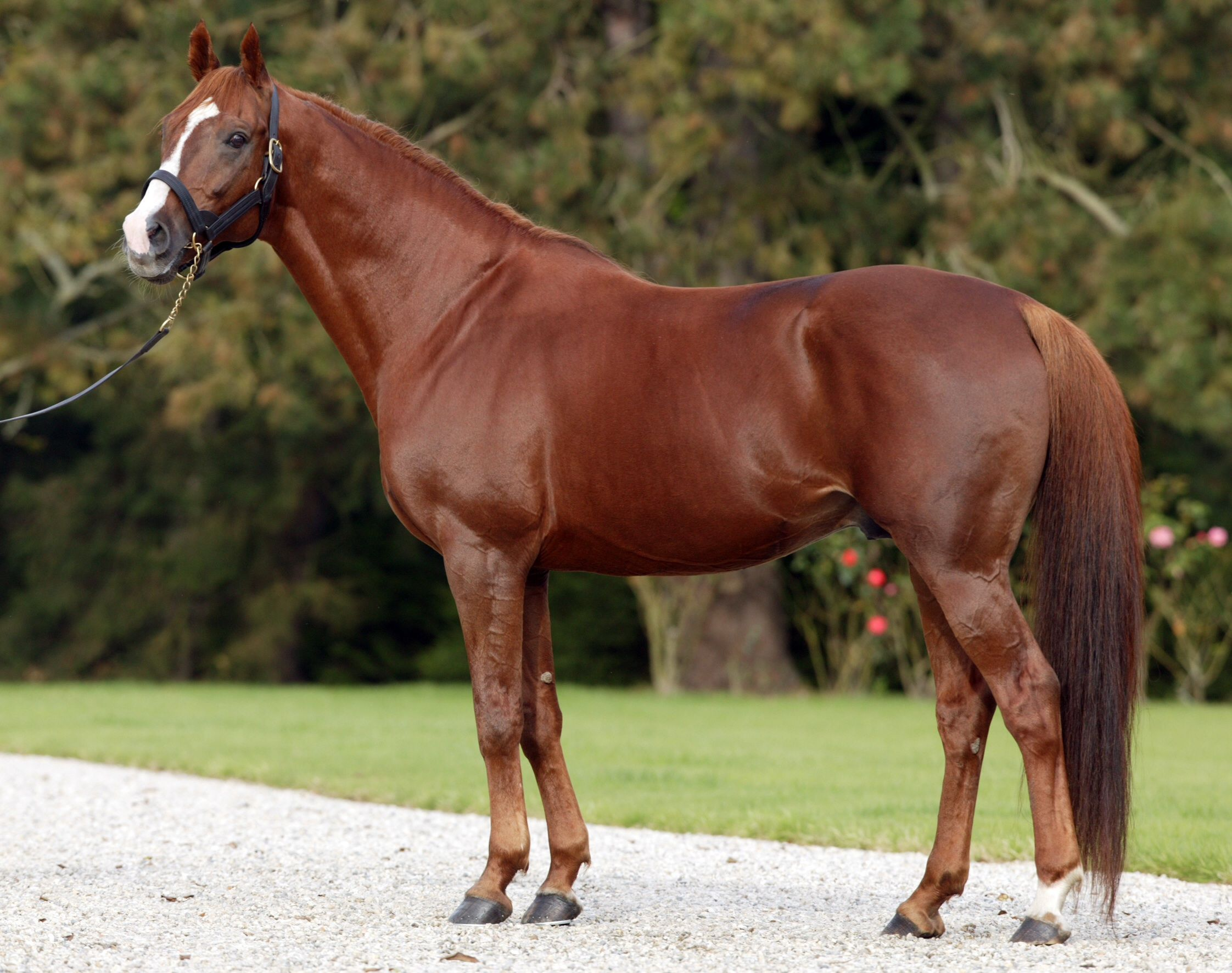 Chestnut liver quarter horse   Favorite horse photos ... - photo#12