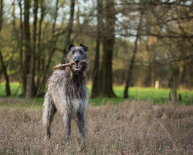 Finn.   #scottish #deerhound