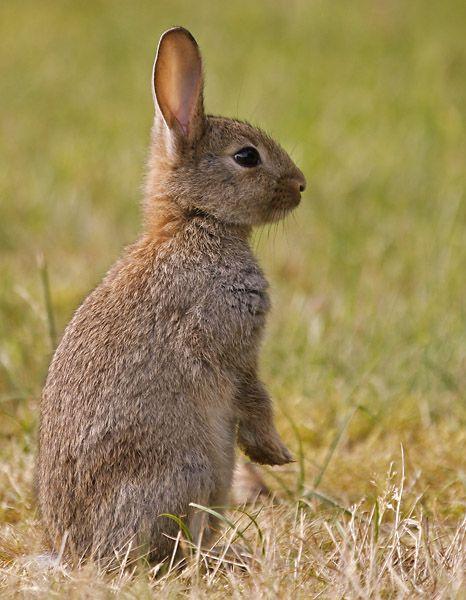 WildKaninchen Wildkaninchen, Kaninchen und Hase kaninchen