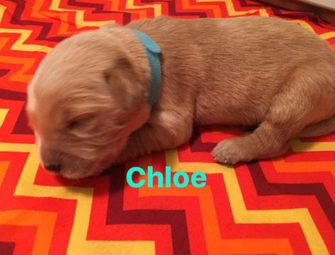 Litter Of 7 Golden Retriever Puppies For Sale In Morehead Ky Adn