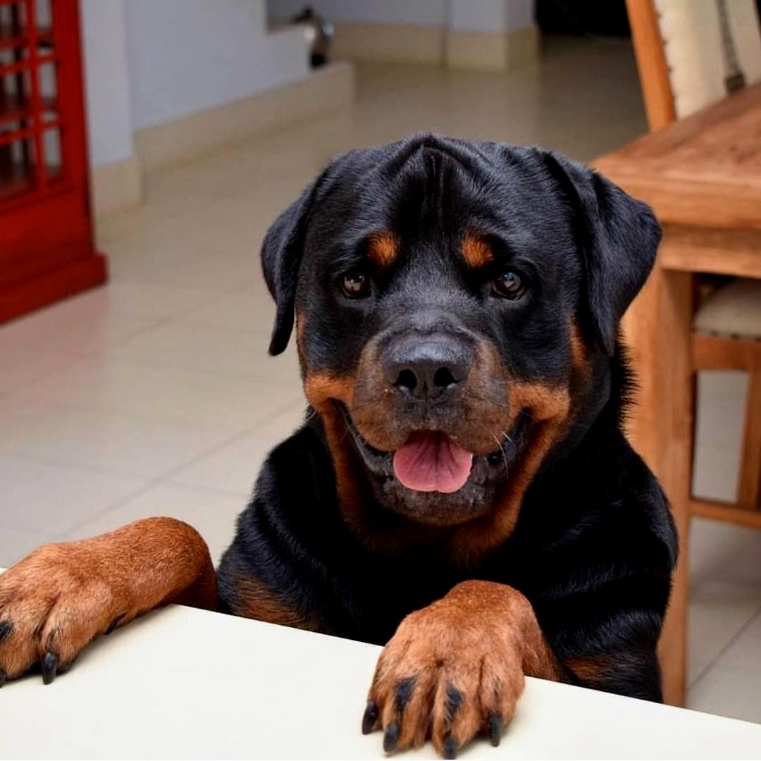 Pin On Rottweiler Love