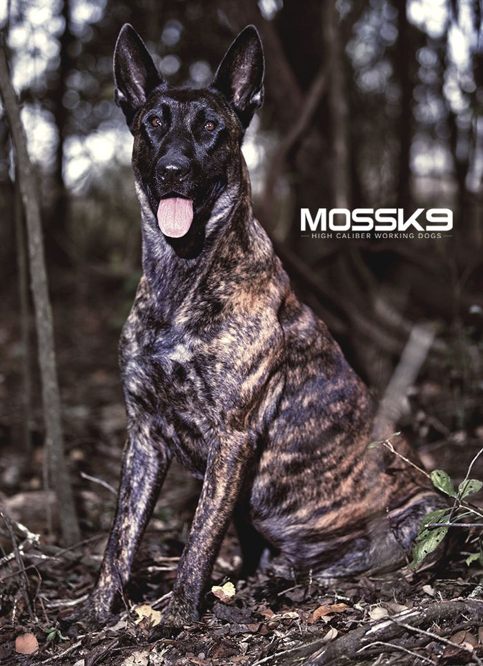 Dutch Shepherd Police Dog Moss K9 Dutch Shepherd Dog Belgian Malinois Dog Malinois Dog