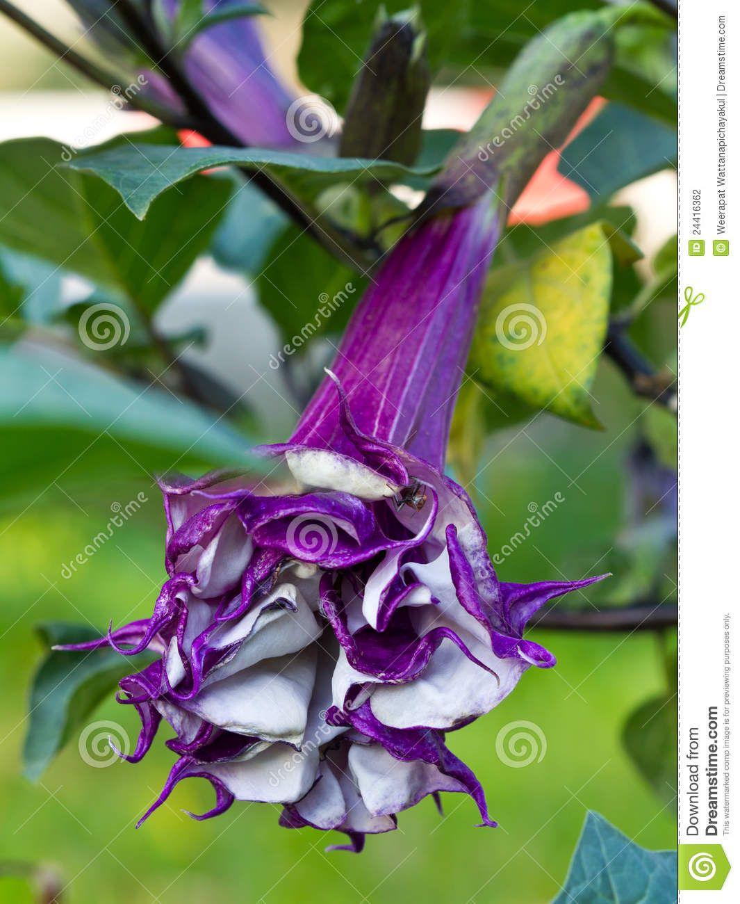 Beautiful but deadly datura flower stock photography image beautiful but deadly datura flower stock photography image 24416362 izmirmasajfo