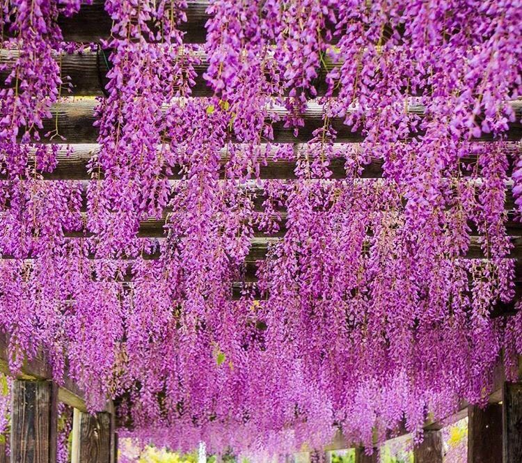 Wisteria Flowers At The Toba Water Purification In Kyoto Wisteria Kyoto Japan Cooljapan Kyototravel Kyotoflowers Beautiful Images Cool Pictures Pergola