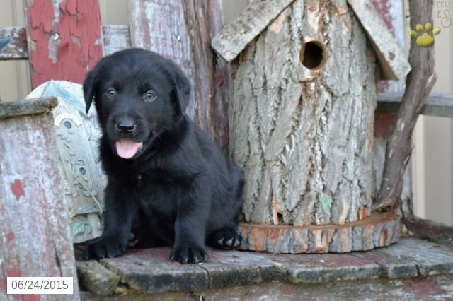 Labrador Retriever Puppy For Sale In Ohio Buckeyepuppies With