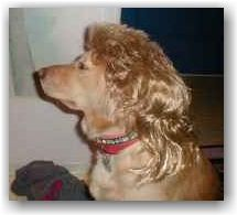 Golden Mullet This Is A Hybrid Dog Called A Gullet Hybrid Dogs Poor Dog Funny Valentine Memes