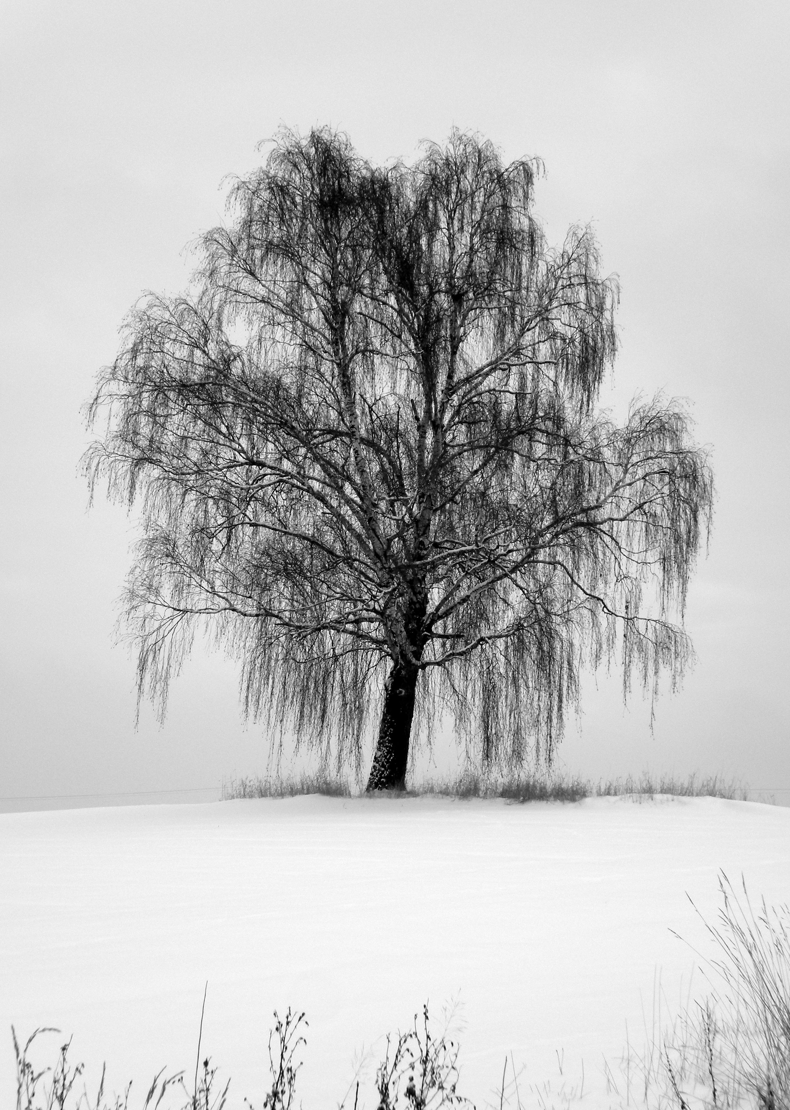 Weeping Willow waiting for spring. … Willow tree