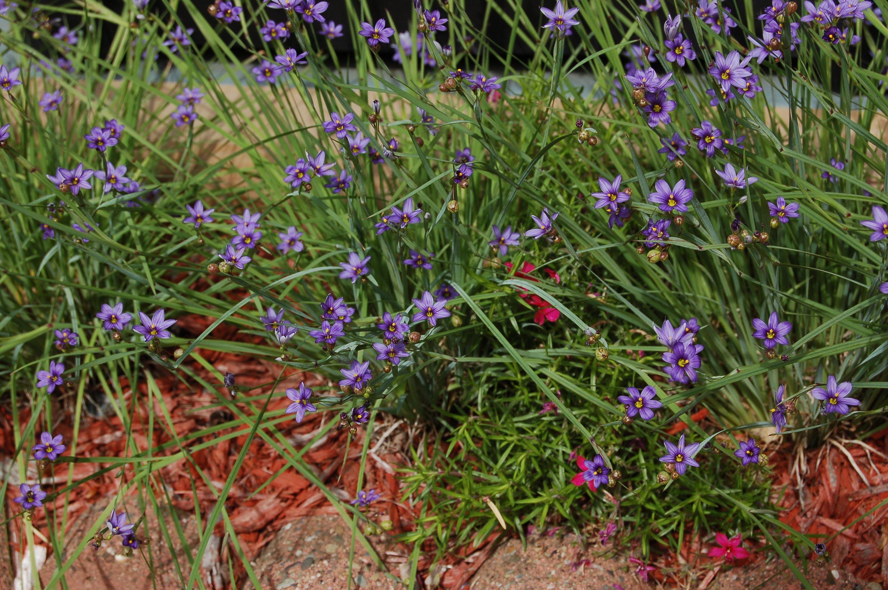 Should you grow ornamental grass grasses plants and low should you grow ornamental grass workwithnaturefo