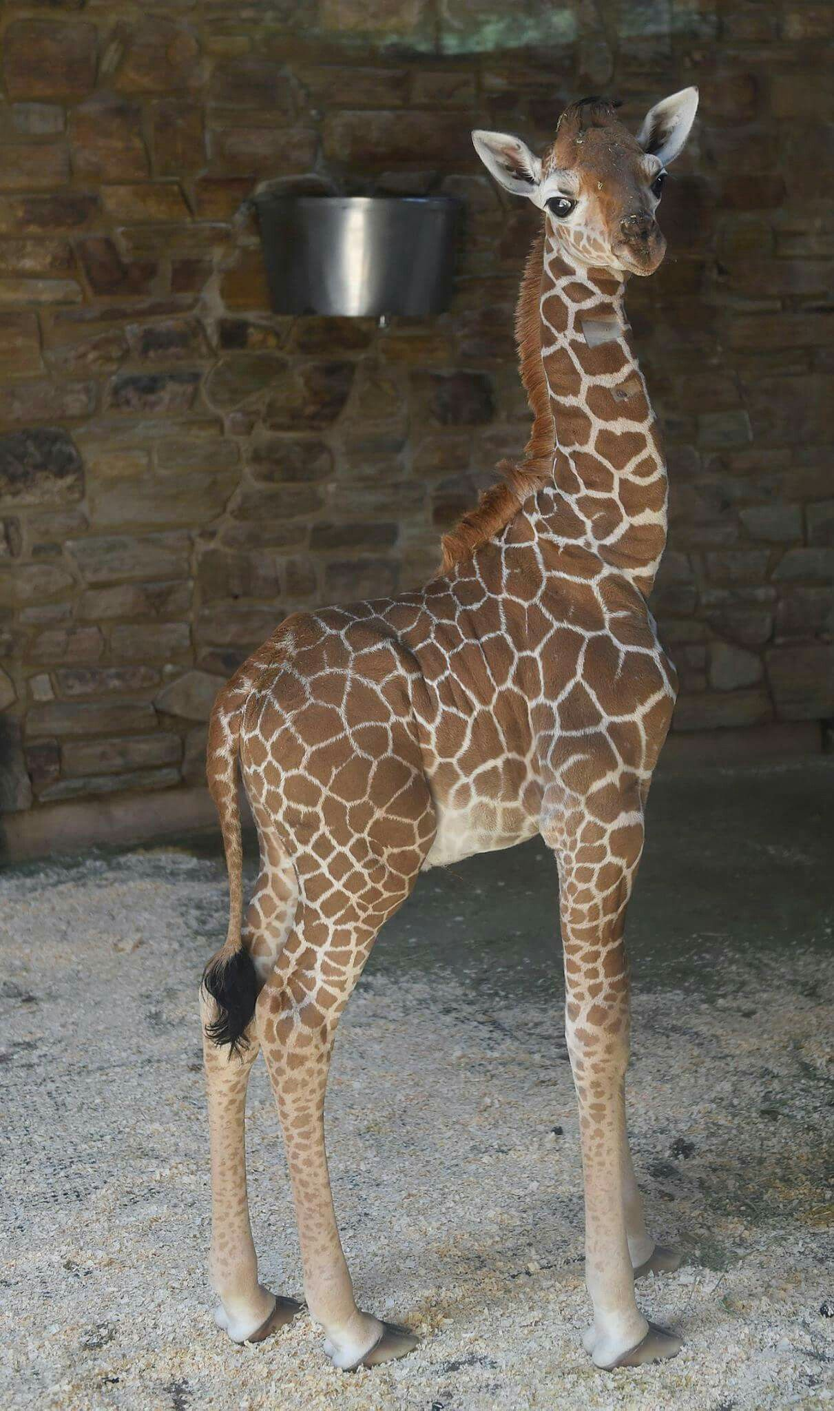 april the giraffe image by Debbie Motluck Giraffe
