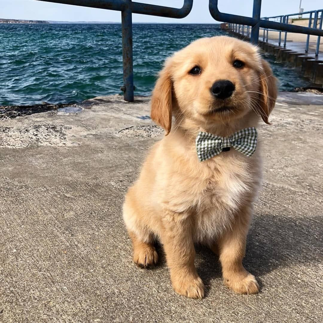 Golden Retrievers On Instagram Our Wednesday Cuteness Overload