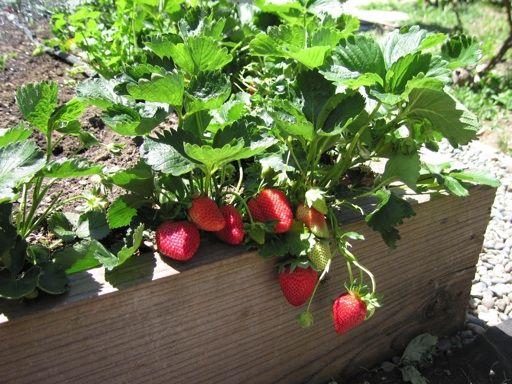 Puttering In The Garden Strawberries Strawberry Garden Strawberry Plants Strawberry