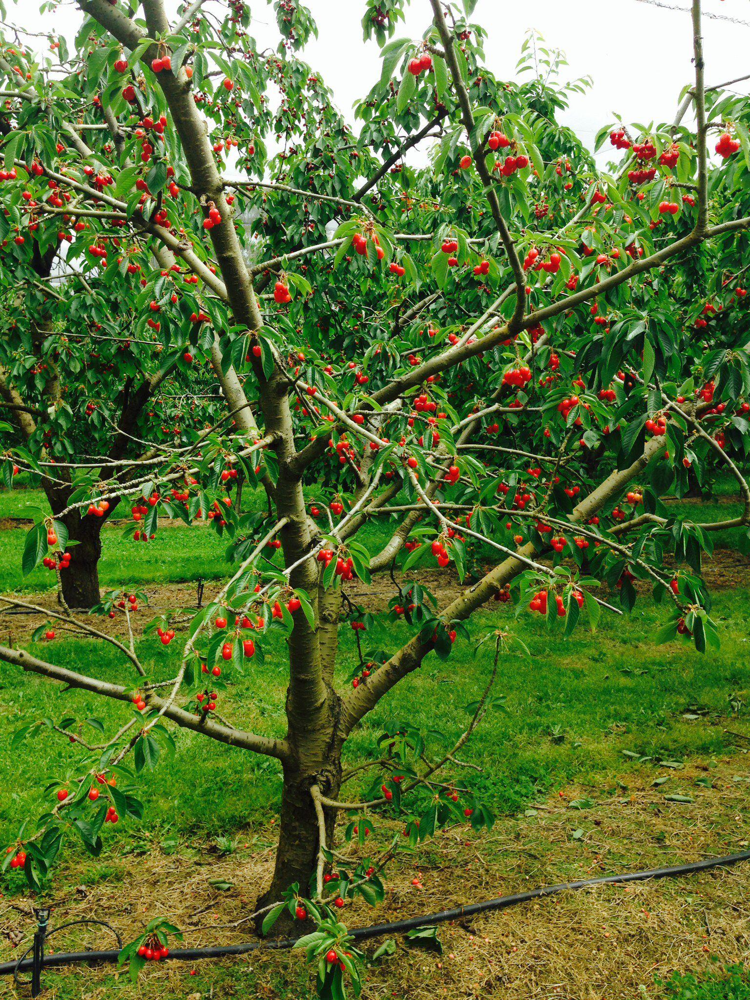 Cherries Cromwell