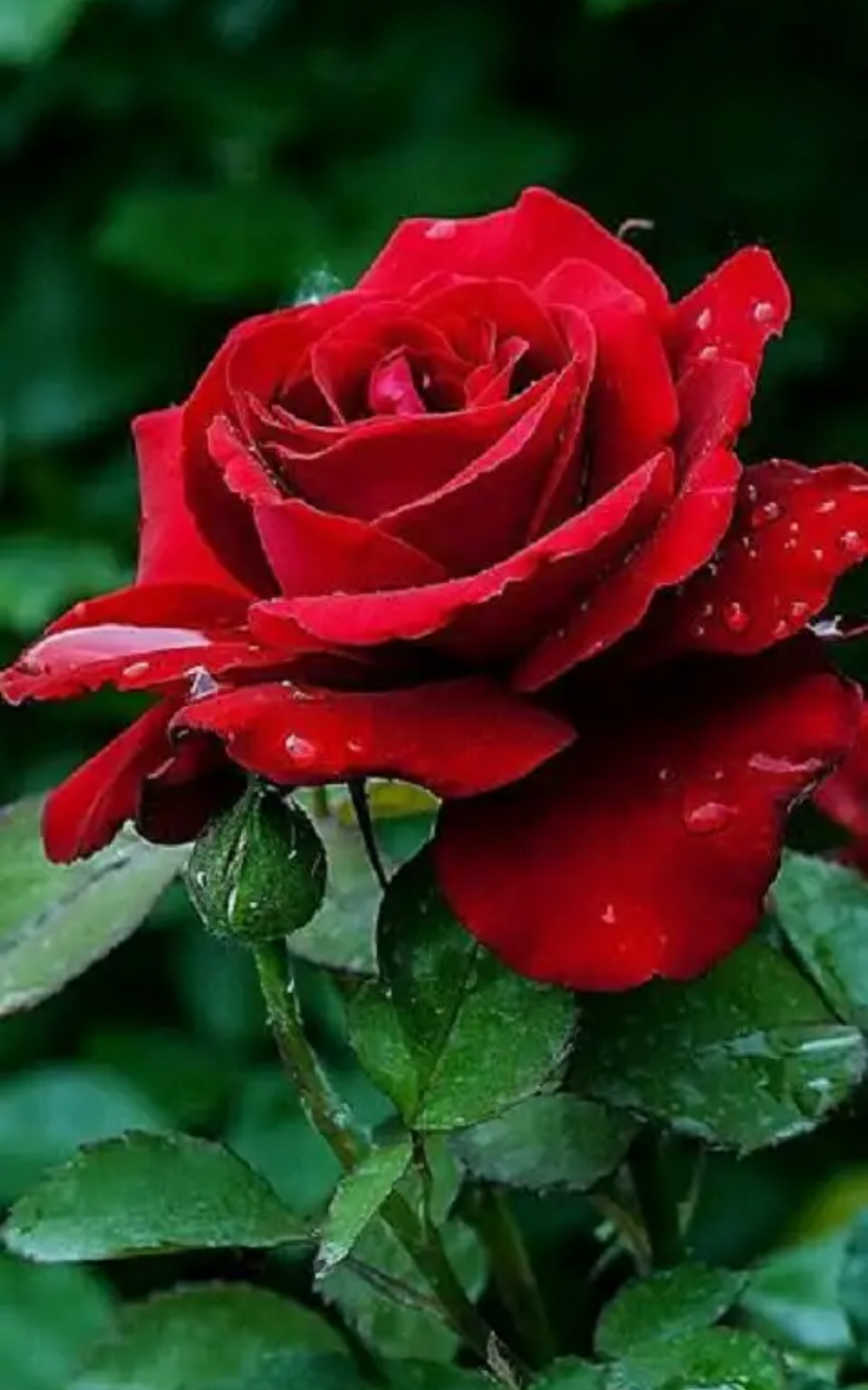 Sign in | Rosas de chá híbridas, Flores bonitas, Flores rosas
