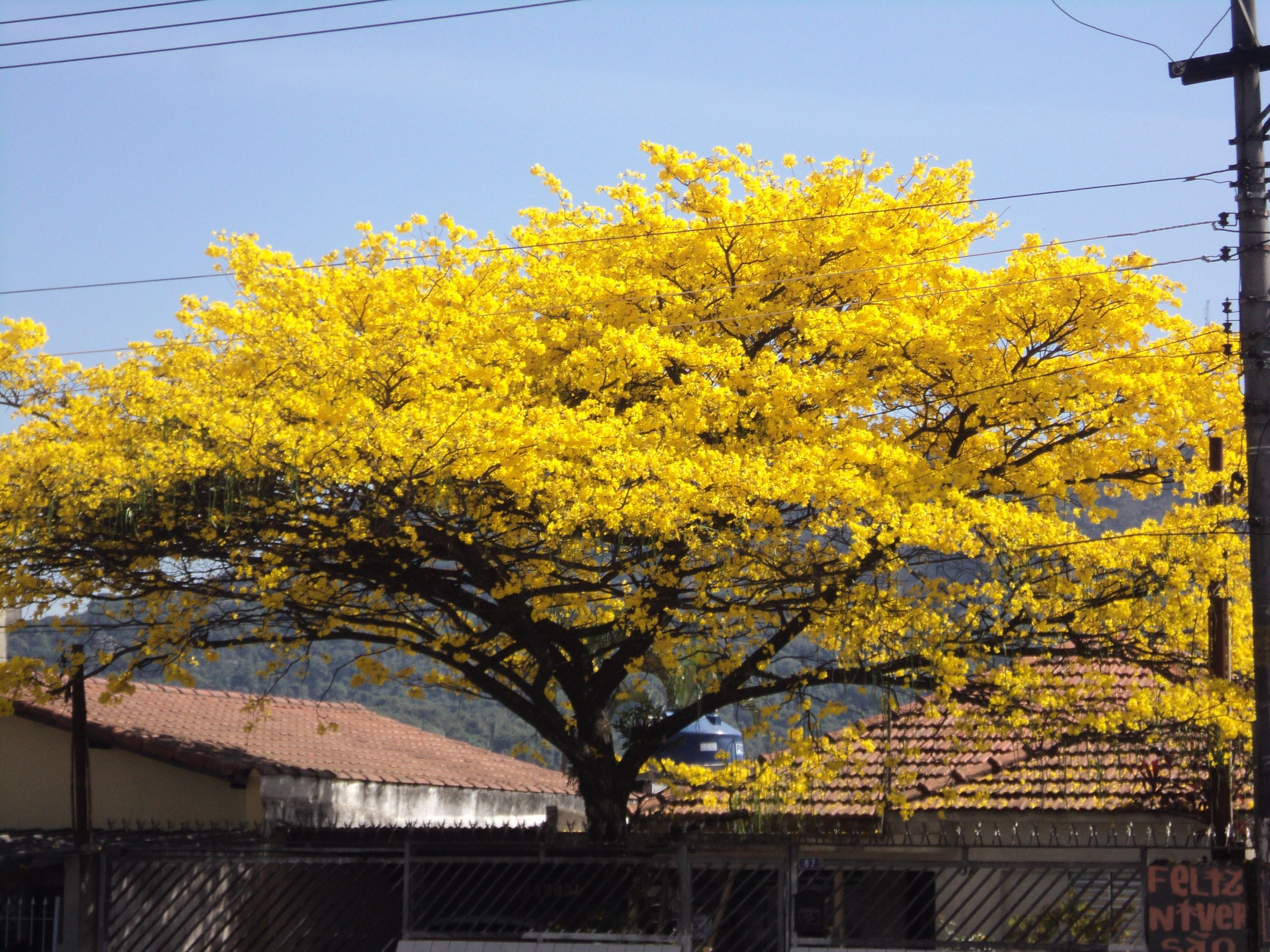 Ipê amarelo - SP