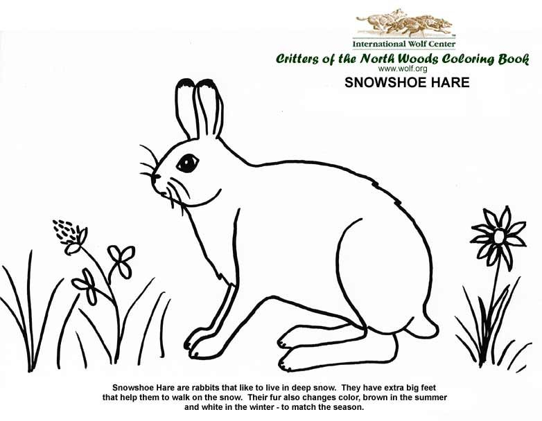 Coloring Book Coloring Books Snowshoe Hare Animal Science