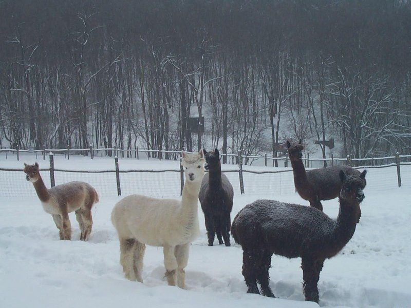 Alpacas Are Awesome Fuzzy, Quirky, Adorable Creatures