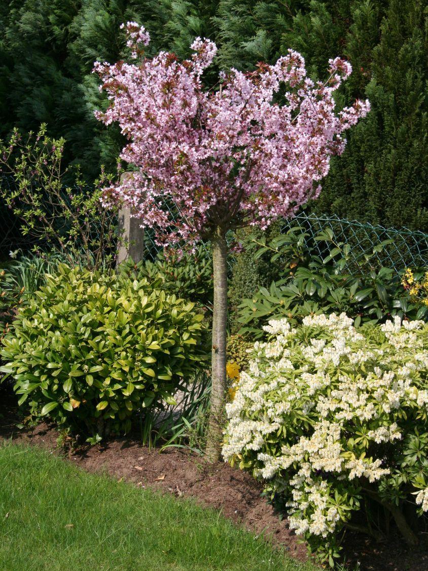 Zwerg-Blutpflaume - Prunus cistena | Pflanzen | Prunus ...