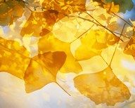 Selective focus close up of golden yellow autumn leaves  Fine Art Print