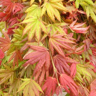 Moonrise Full Moon Japanese Maple New spring leaves unfurl bright crimson, acquiring chartreuse tones for summer and then turning rich red again in autumn before dropping.
