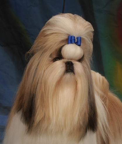 Shih Tzu Dog With Long Hair Front View On Bright White And Blue Background Shihtzu Shih Tzu Dog Shih Tzu Dogs