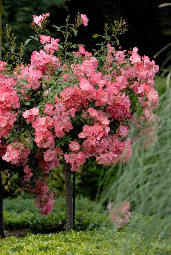 "Simple Rose Garden: Flower Carpet Coral As ""Standard"" Or Tree Rose. Lovely In"
