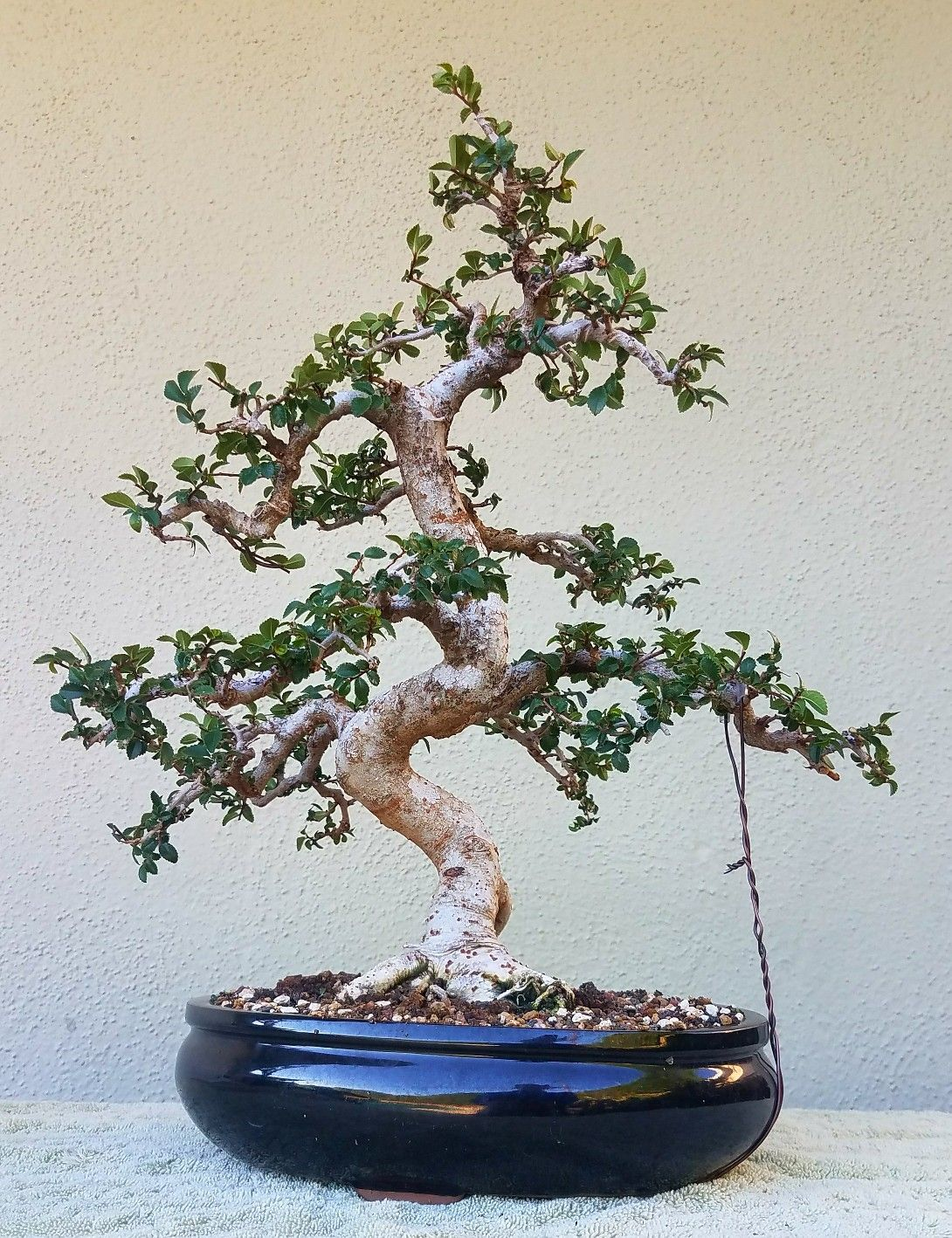 Stupendous Picture 5 I Did Some Pruning And Wiring On My Chinese Elm Bonsai Wiring Digital Resources Sapebecompassionincorg