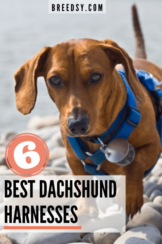 7 Best Harnesses For A Dachshund Our 2019 Dachshund Harness Guide