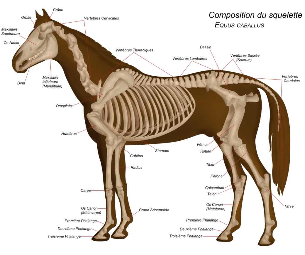 Le squelette du cheval   Squelette cheval   Pinterest