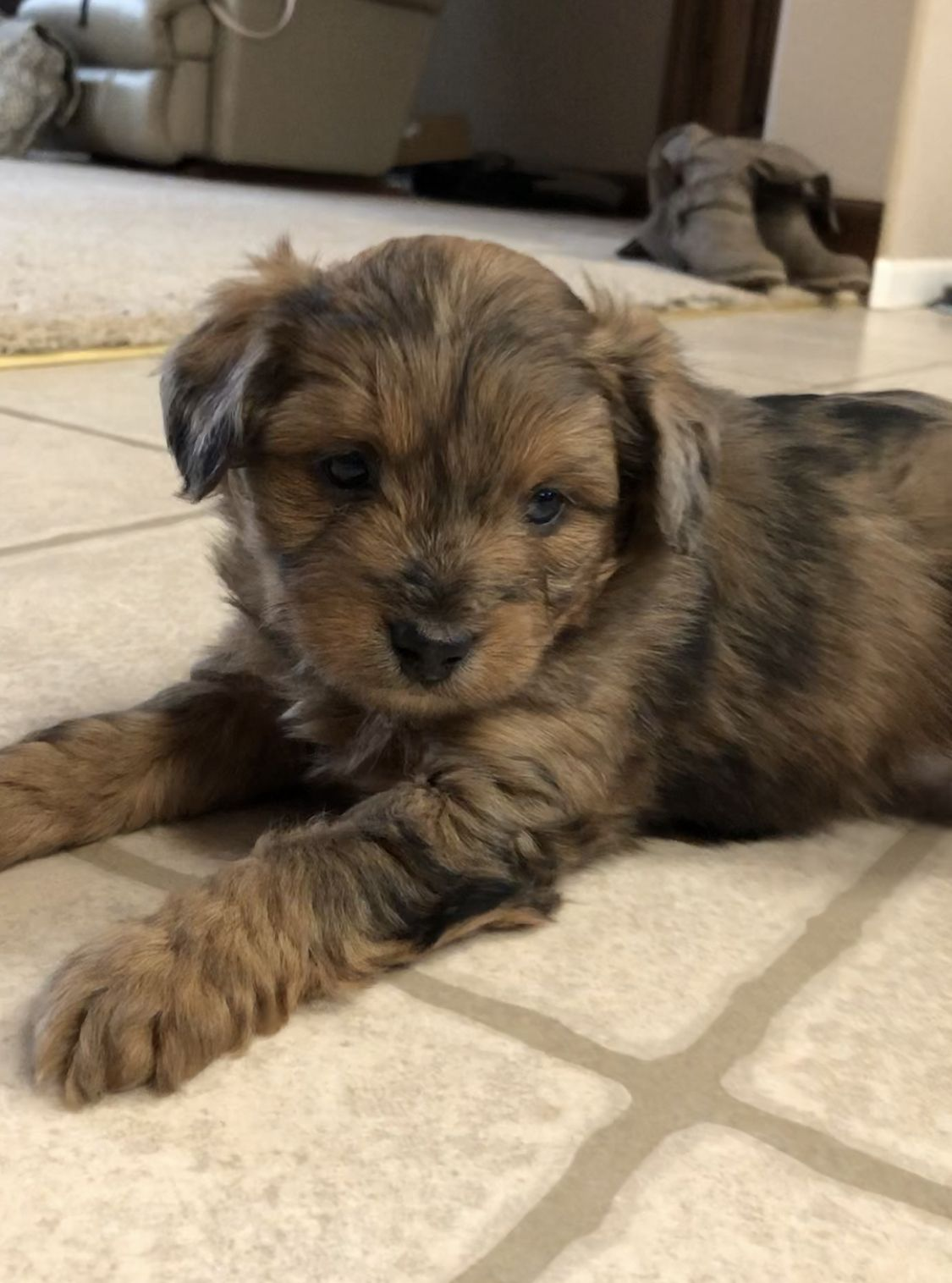 Standard Aussiedoodle Puppies For Sale Near Me References