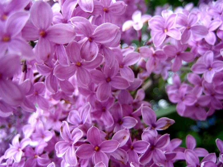 lilac #lilac #flowers  http://www.mikesjournal.com/May%202006/Lilac%20Flowers%203.htm