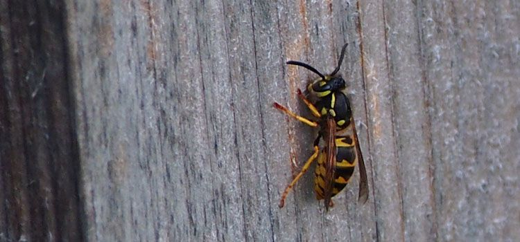 Terrific Wasp Pest Identification For Vegetable Gardens Garlic Home Interior And Landscaping Ferensignezvosmurscom