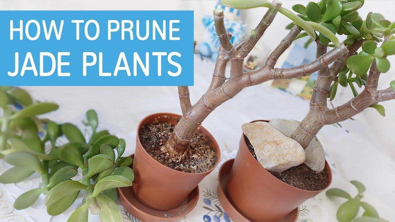 How To Prune Jade Plant Jade Plants Jade Plant Pruning Jade Plant Bonsai