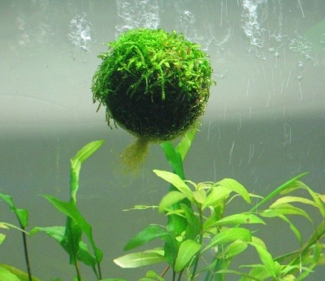 Special Plants Floating Moss Ball Fish Tank Aquarium Theme