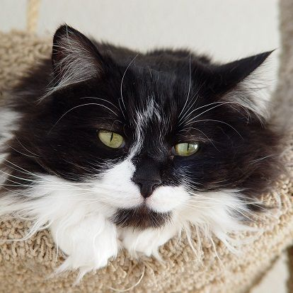British Semi Longhair Cat Cat Breeds Long Haired Cats Cats And