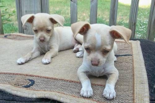 Chihuahua Puppies Chihuahua Love Cute Chihuahua Chihuahua Puppies
