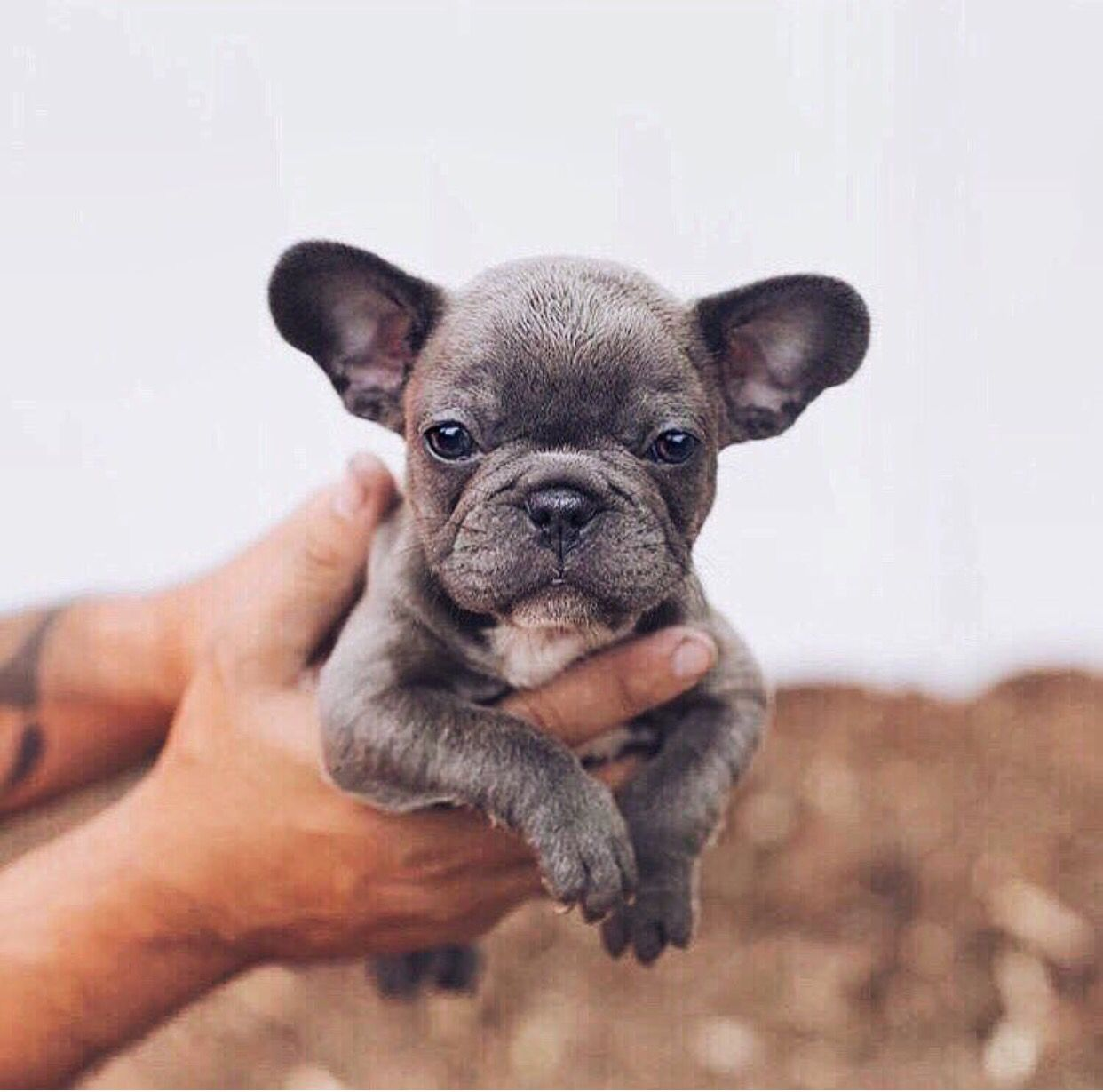 Pin by Wen Wen Huffman on Frenchies Blue french bulldog