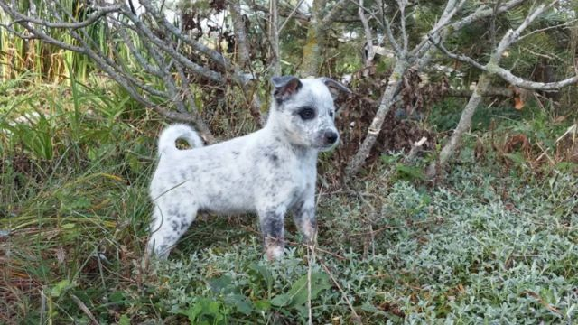 Beautiful Blue Heeler Puppies For Sale In Hamilton Ontario