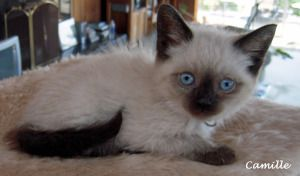 Adopt Camille on Siamese kittens, Siamese cats, Blue