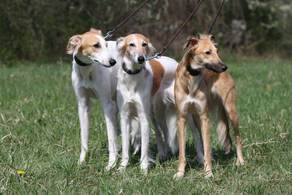Longhaired Whippet Whippet Dog Long Haired Whippet Dogs