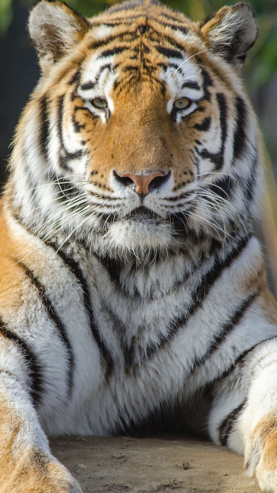 Cool Tiger Wallpaper Ios ~ Animals Wallpapers Ideas in 2020 | Tiger  wallpaper, Animal wallpaper, Tiger