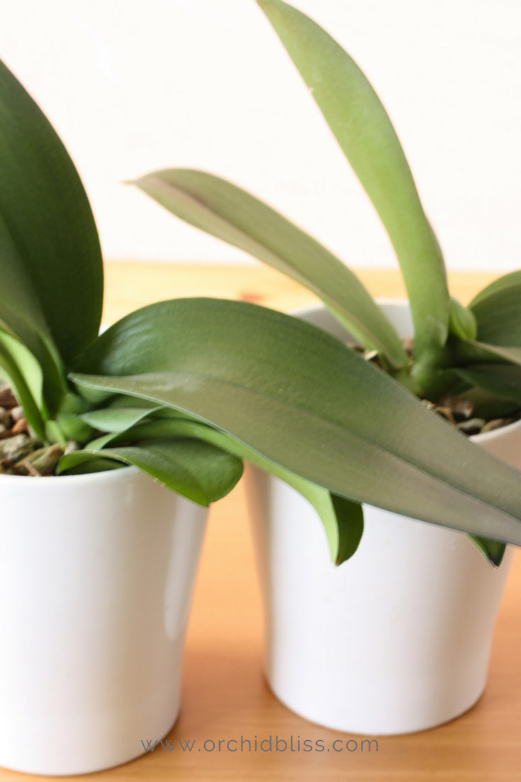 Do orchids bloom more than once yes how to rebloom orchids green
