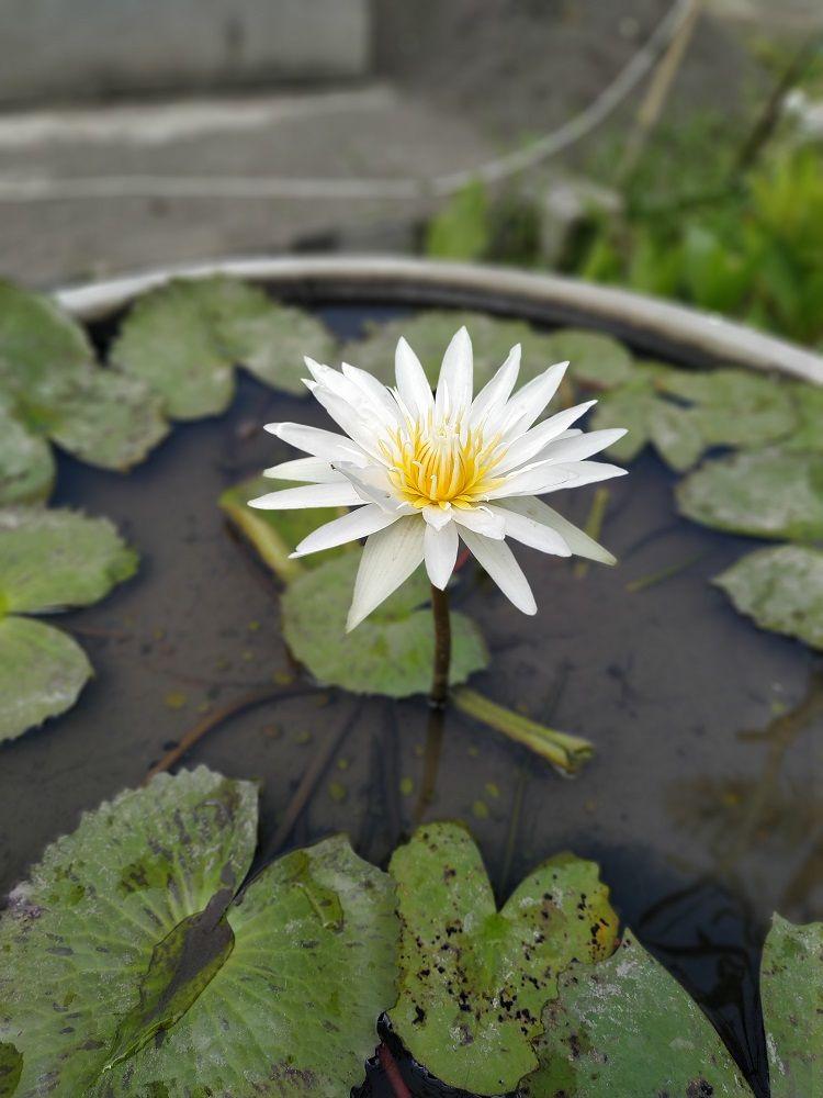 Lotus Atau Teratai Ya Coba Plantlovers Sebutkan 3 Saja Perbedaan Lotus Dengan Teratai Salah Satunya Ada Di Daun Dan Bunga N Taman Vertikal Menanam Tanaman