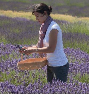 die besten 25 lavendel trocknen ideen auf pinterest lavendel wann lavendel angepflanzt wird. Black Bedroom Furniture Sets. Home Design Ideas