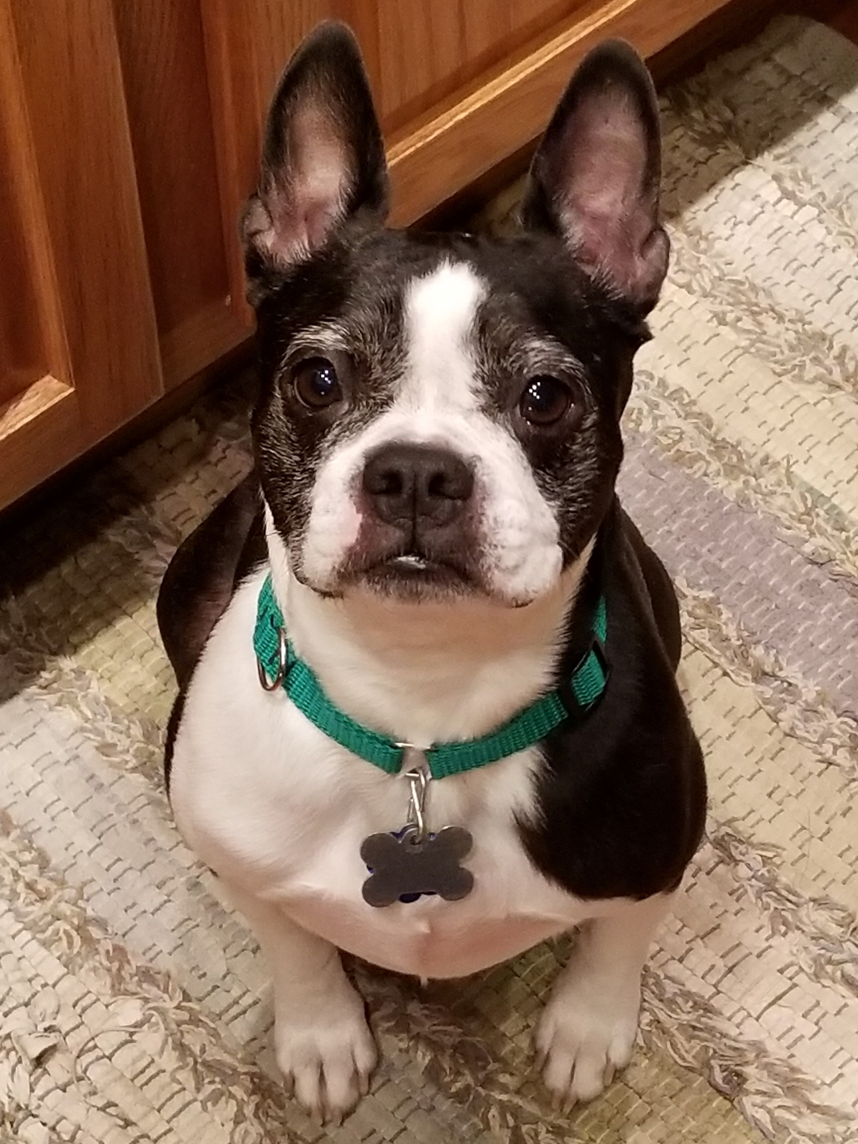 Boston Terrier Dog For Adoption In Harrisburg Pa Adn 753447 On