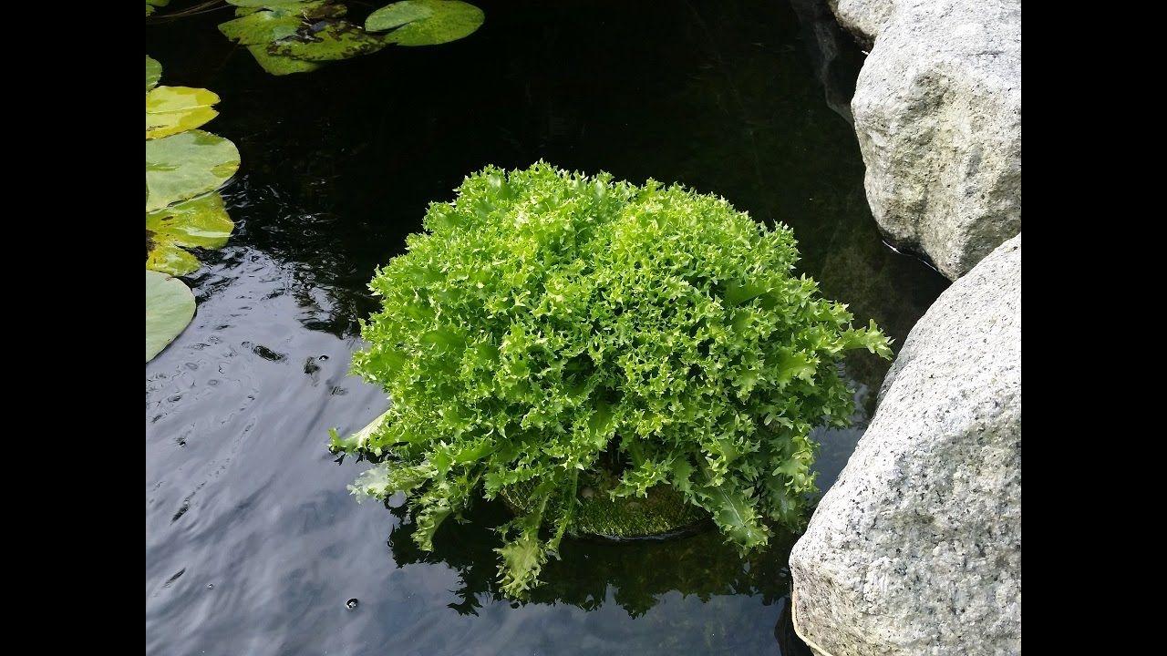 Algen Im Teich Algen Fadenalgen Vernichten Bio Salat Aquaponik Algen Im Teich Teich Garten