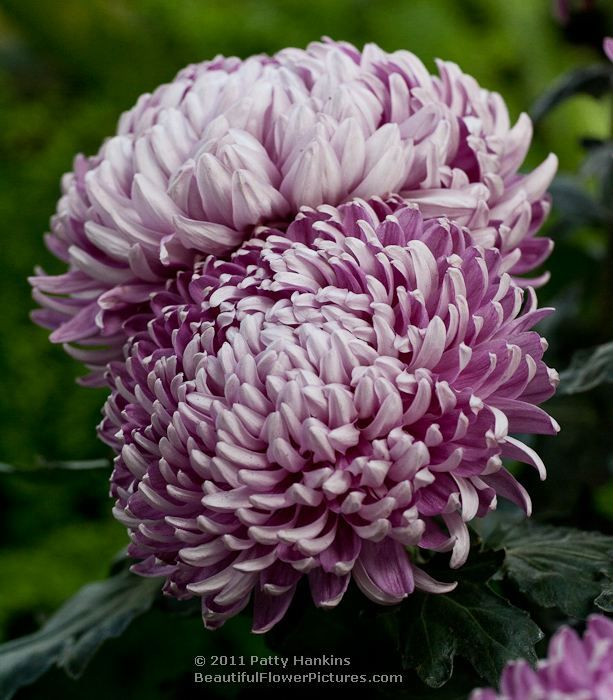 Hagoromo Royal Silver And St Tropez Intermediate Incurve Chrysanthemums Chrysanthemum Plant Flowers Perennials Bonsai Flower