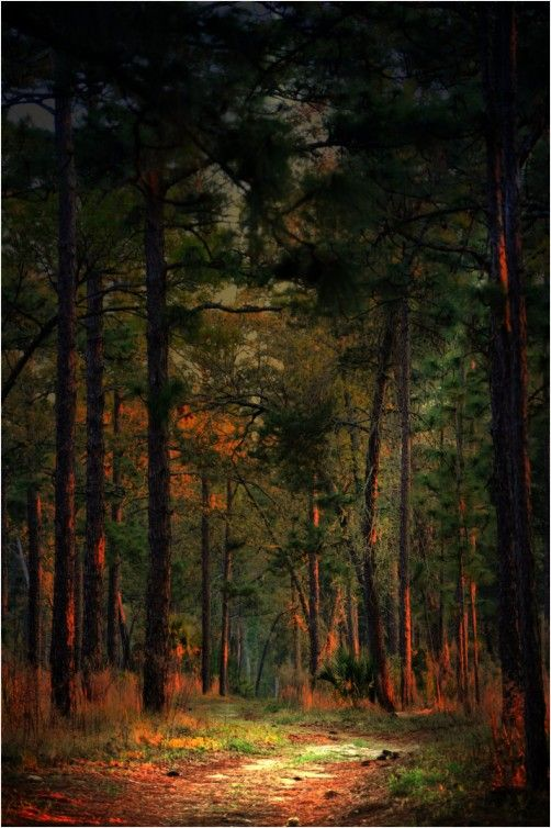 Path on Fire - a walk through the FL woods in the wee morning hours